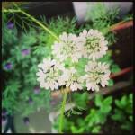 パクチーの花が可憐に咲きました!