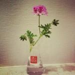 ローズゼラニウム、今年もカワイイ花咲きました!